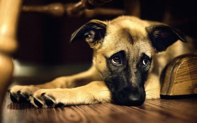 Sad-Dog-on-Hardwood-Floor