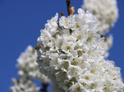 """Οι δρόμοι του κερασιού """"ντύθηκαν"""" στα λευκά στην Έδεσσα- Απολαύστε τους!"""